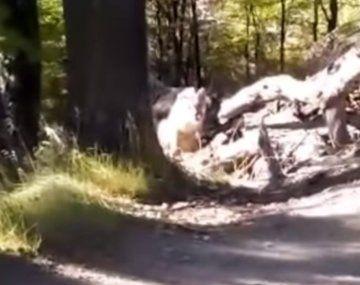 Video: un hombre encontró cinco pumas en su caminata por El Chaltén