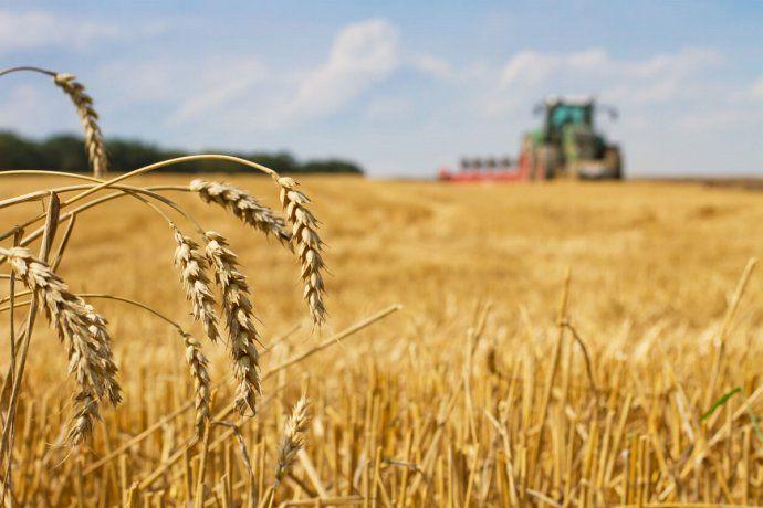 Las exportaciones de trigo bajaron un 30%