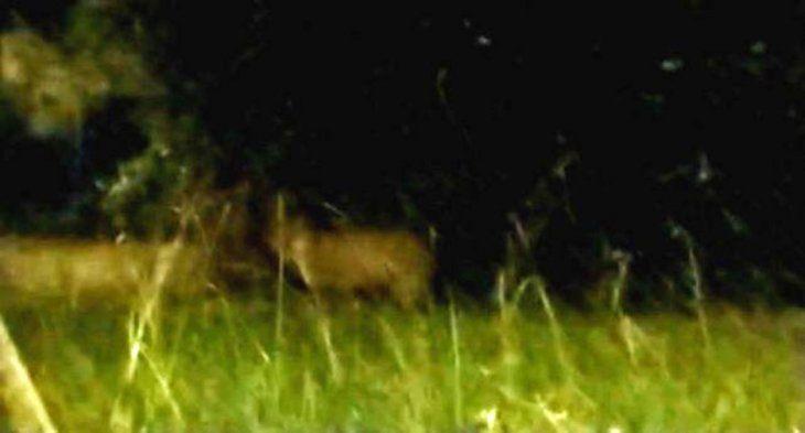 Santa Fe: los pumas son animales nocturnos y el video de este ejemplar se hizo viral