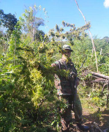 Detienen a un hombre mientras cosechaba marihuana en una plantación misionera