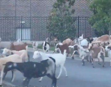 La revolución del reino animal: en Argentina invadieron los carpinchos y en EEUU las cabras
