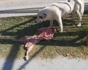 Río Negro: una perra le robó el lechón a un grupo de concejales