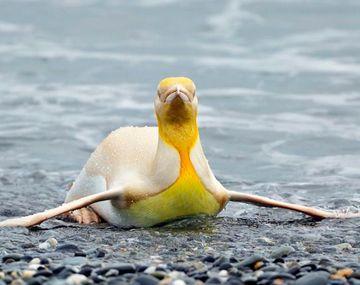 Un fotógrafo capturó un pingüino amarillo nunca antes visto