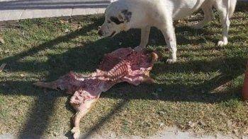 rio negro: una perra le robo el lechon a un grupo de concejales