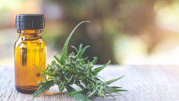 comodoro rivadavia: aprueban proyecto sobre cultivo de cannabis para uso medicinal
