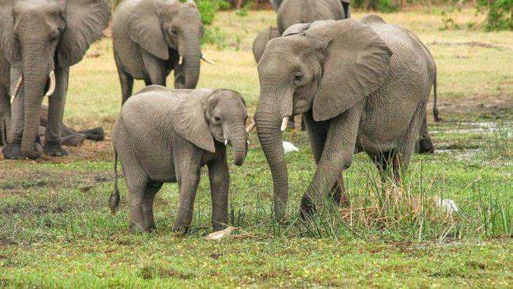 Un cazador murió aplastado por una estampida de elefantes mientras huía de un parque en Sudáfrica