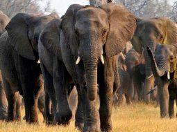 una manada de elefantes arraso una plantacion de bananas pero dejo en pie la que tenia un nido lleno de pajaritos bebes