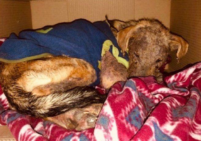 Adoptó un perro, lo maltrató y lo devolvió al borde de la muerte: Ahora se esconde y tiene miedo