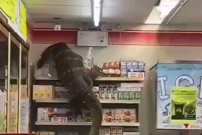 VIDEO: Un enorme lagarto aterrorizó a los clientes de un supermercado