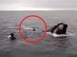 rio negro: denunciaron a un grupo de buzos por intentar montar una ballena franca